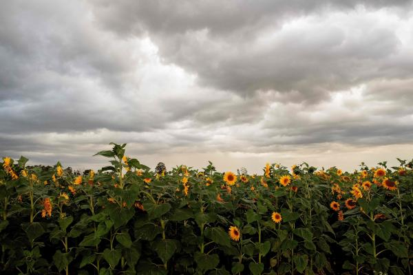 In this photograph taken on April 15, 2019, shows a view over a field of sunflowers in Coligny, some 120kms west of Johannesburg. (Photo by LUCA SOLA / AFP)