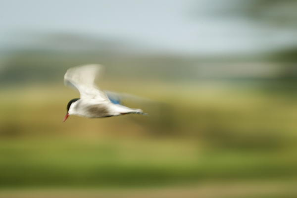 An image taken with a slow shutter speed shows a Whiskered Tern flying over a swamp in Santo Tomas, Pampanga, Philippines, 21 April 2019. EPA/MARK R. CRISTINO