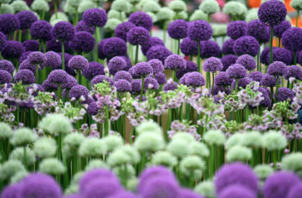 A display of allium ahead of the RHS Chelsea Flower Show in London, Britain, 19 May 2019. EPA/NEIL HALL