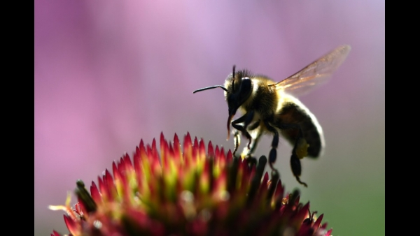 A bee sits on a flower at the botanical garden in Bochum, western Germany  AFP / INA FASSBENDER