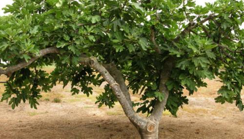 Fig Tree in Arid Region Helps Uncover Mystery