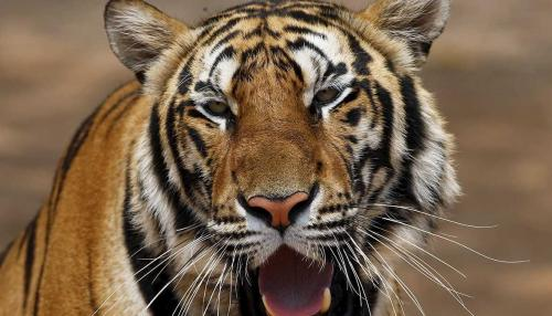 Tiger Kills Buddhist Monk while Meditating in India