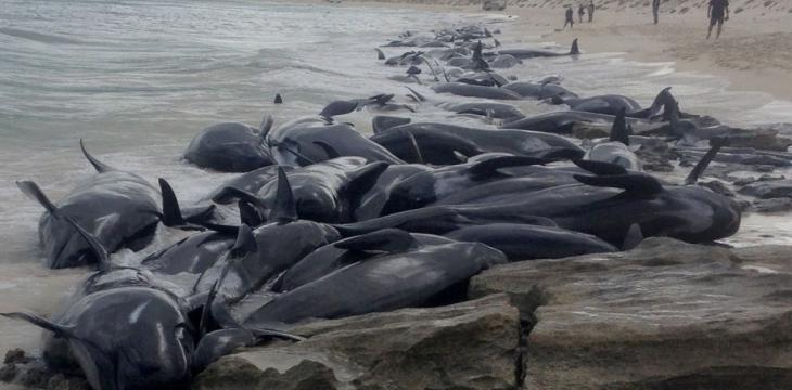 Volunteers Save 5 of Over 150 Stranded Pilot Whales in Australia