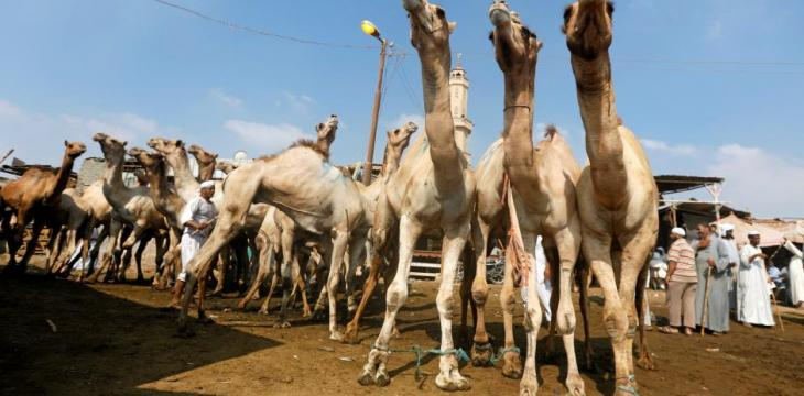 For Some Egyptians, Camels Make a Bigger and Better Eid Sacrifice