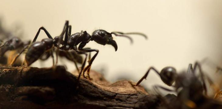 Ants Produced Antibiotics Millions of Years before Humans
