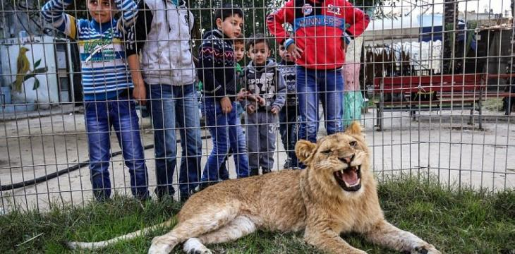 In the Gaza Strip Pet a Lion, Declawed