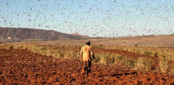Egypt Prepares for Locust Surge with 54 Border Bases
