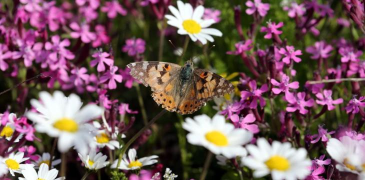 Butterflies Swarm Lebanon's Meadows in Numbers Unseen for 100 Years