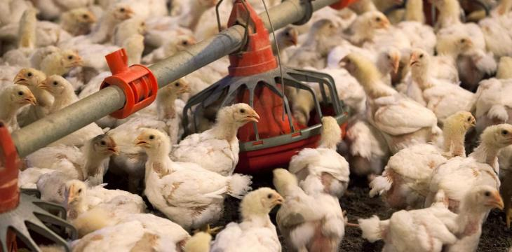 Syria Regime Distributes Free Chickens in Rural Areas