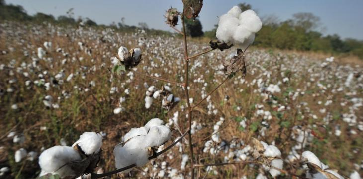 US Approves Consumption of Genetically Modified Cottonseeds