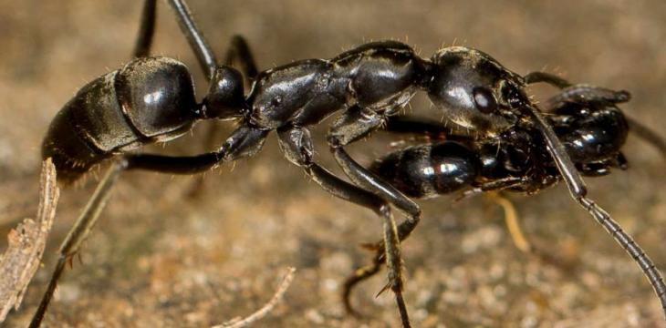 Fastest Ant Ever Discovered in Tunisian Desert