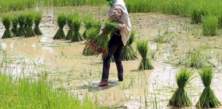 Climate Change Will Affect Rice Crops, Study Finds