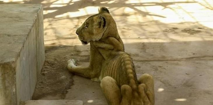 Online Campaign to Save Starving African Lions at Sudan Park