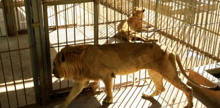 Wildlife Conservationists in Sudan to Examine Sick Lions