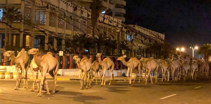 Imported Camels Evacuated from Libya's Capital after Port Attack