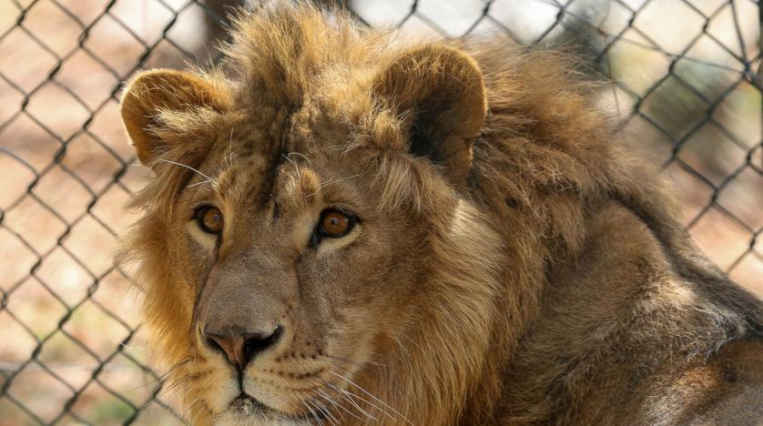 Two lions rescued from Syria, Iraq head to Africa