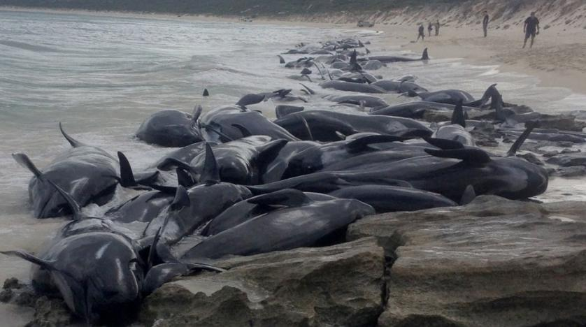 WA volunteers help rescue beached whales
