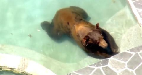 Bear Cools Off Heat in Los Angeles Swimming Pool